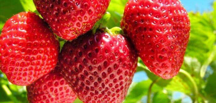 La fraise, une alliée pour mincir