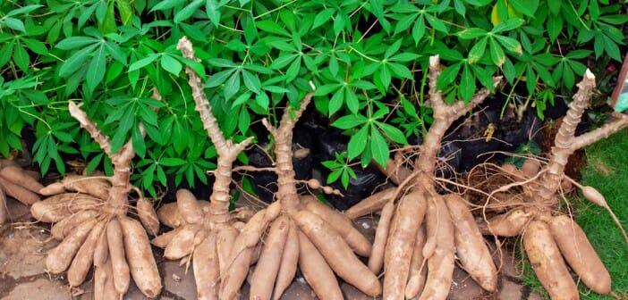 Le manioc est-il calorique ? - Le blog Anaca3.com