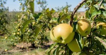 la-pomme-golden-pour-maigrir