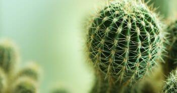 maigrir-avec-le-cactus