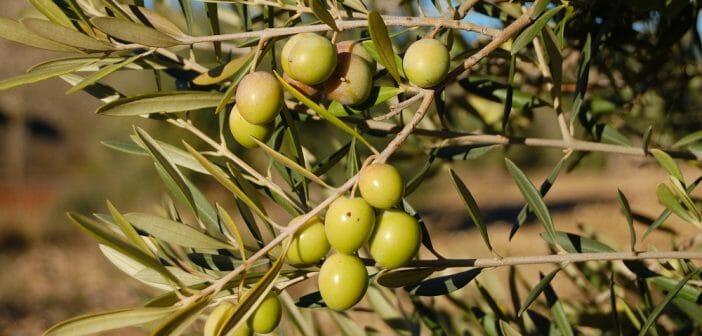 ¿Un té de hoja de olivo para adelgazar?  - El blog de Anaca3.com
